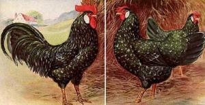 caratteristiche gallina razza ancona