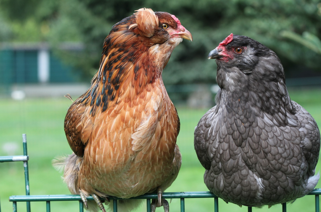 gallina razza araucana-dalle uova blu