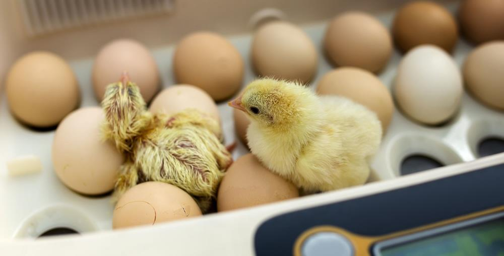 incubazione delle uova di gallina