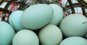 uova blu di gallina araucana
