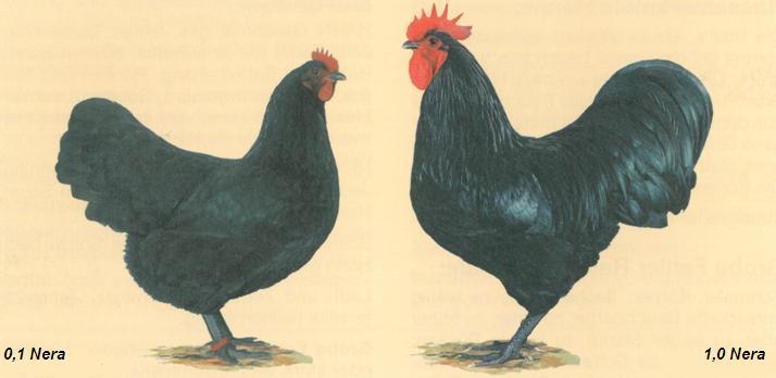 caratteristiche gallina razza australorp