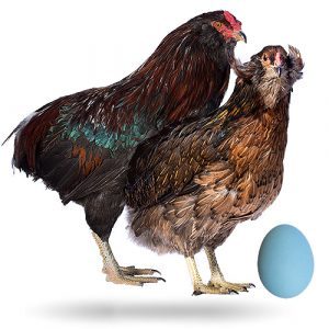 gallina razza araucana - uova blu