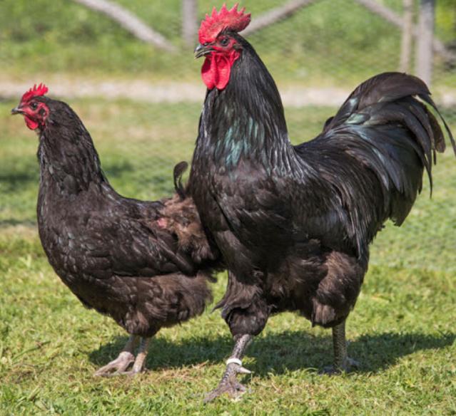 gallina razza australorp