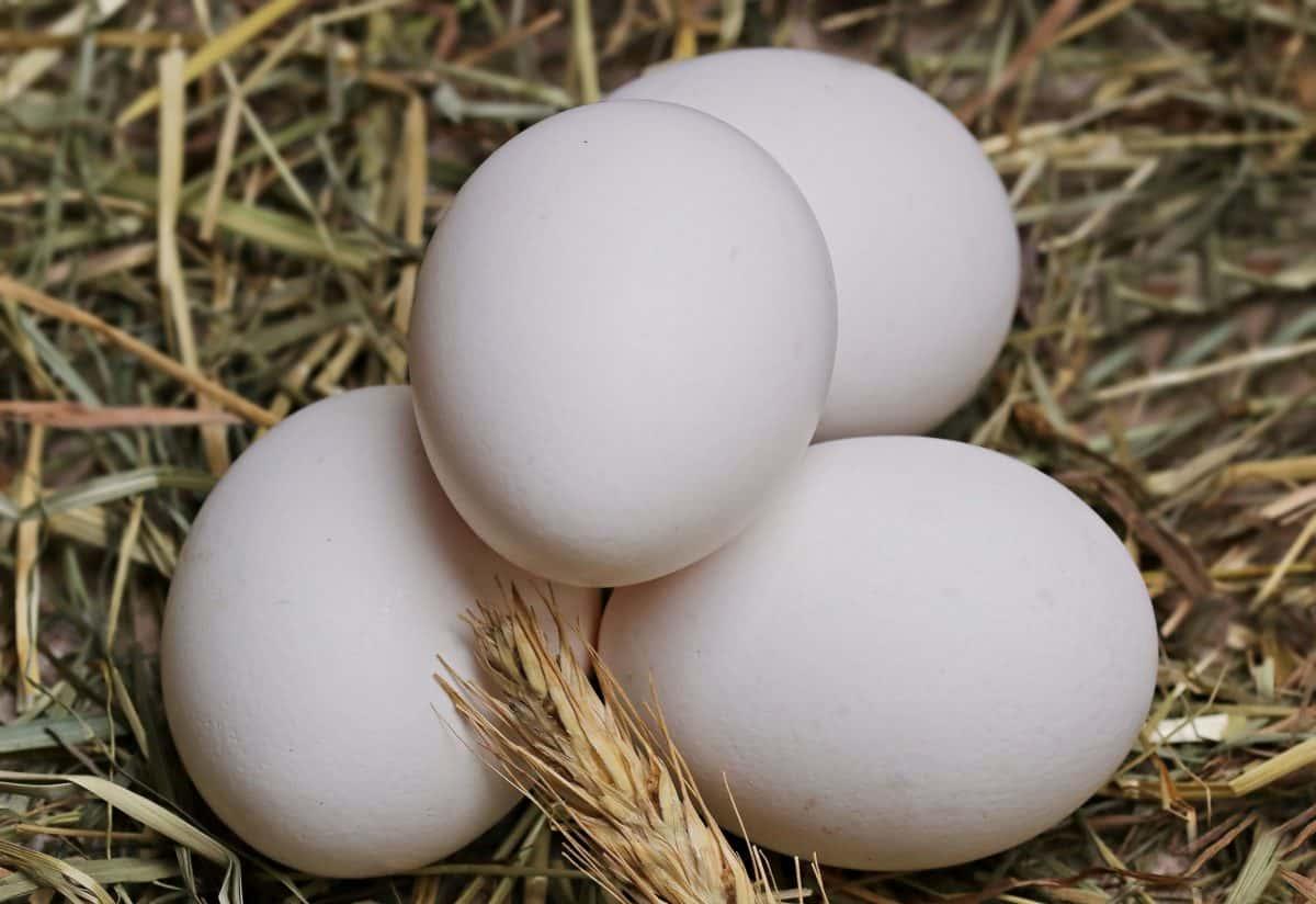 uova di oca