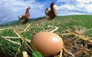uova fresche-biologiche-naturali-galline al pascolo