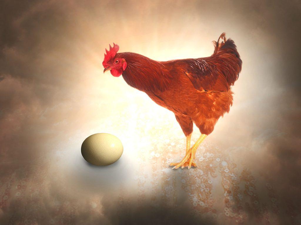 domande e risposte sul mondo delle galline