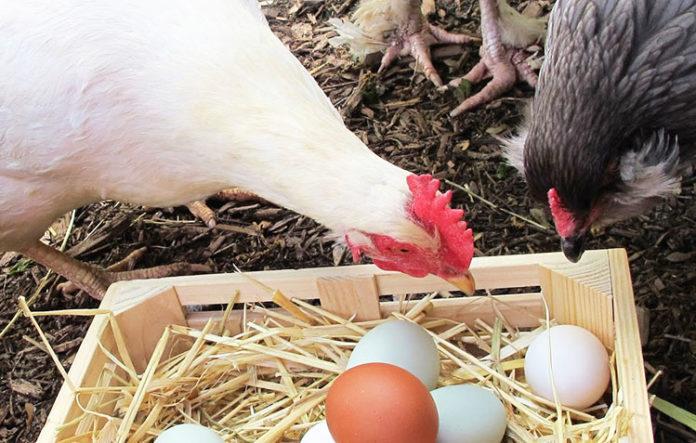 nido galline ovaiole-nel pollaio